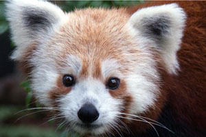 A Red Panda from the Smithsonian National Zoo.